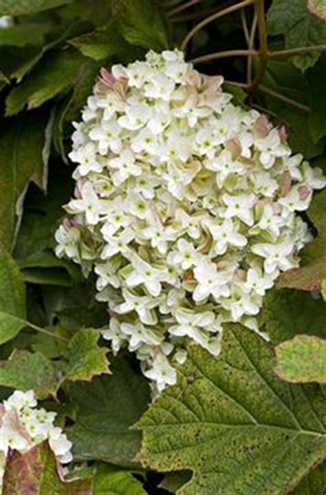 1000 images about shrubs suitable for planting against a north facing wall on pinterest