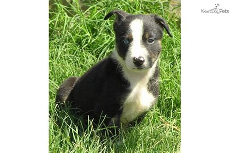 mcnab puppies for sale meet s litter a mcnab puppy for sale for 350 7 8 mcnab black tri