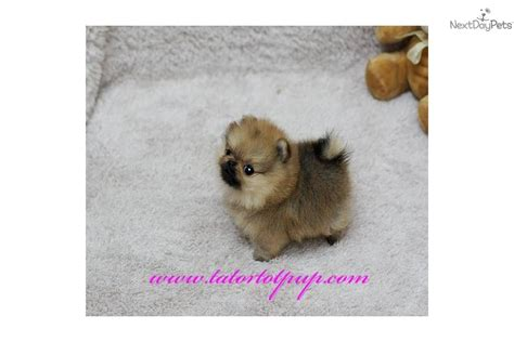 tiny micro teacup pomeranian sale micro tiny teacup pomeranian puppy