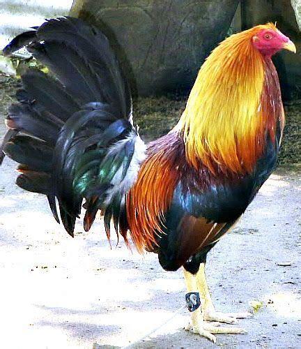 gallos de pelea super hermosos 271 best images about gallos de conbate on pinterest