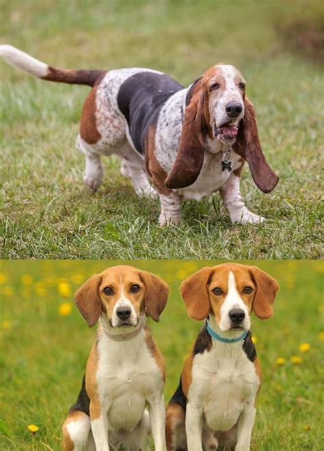 20 difference between basset hound and beagle