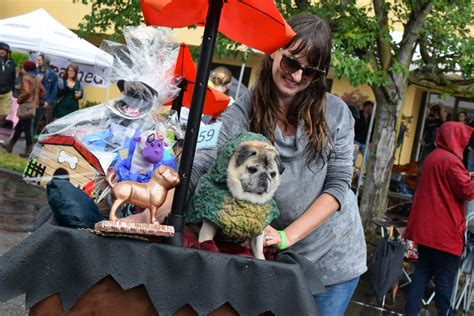 nw pug rescue wars pug crawl breaks records oregon humane society