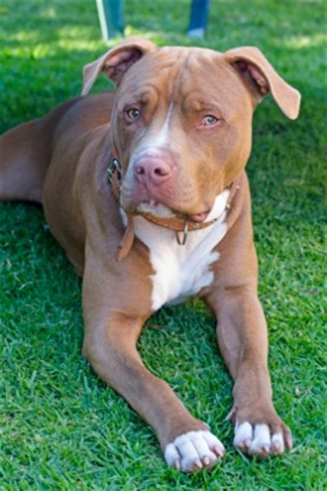 pitbull types types of pitbulls do you the difference