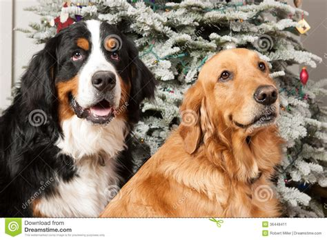 golden retriever bernese mountain bernese mountain and golden retriever 13 cool wallpaper dogbreedswallpapers