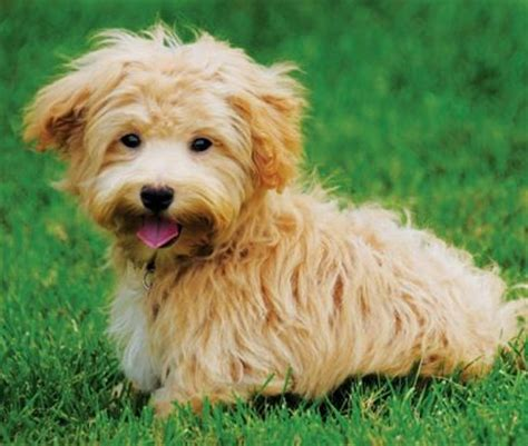 golden retriever maltese mix maltese golden retriever mix and cuddly creatures maltese golden
