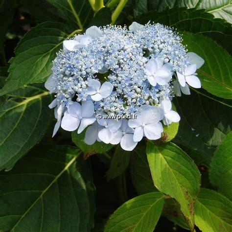 Flur Deckenle by Hydrangea Serrata Blue Deckle 20 40 C4l Tous Les