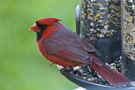 minnesota bird identification guide pictures to pin on