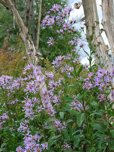 aster tataricus tatarian aster world  flowering plants