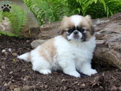 akc pekingese puppies for sale best 25 pekingese puppies for sale ideas on