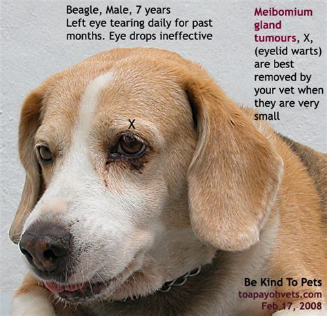 how many eyelids do dogs 0829asingapore veterinary hyperoestrogenism