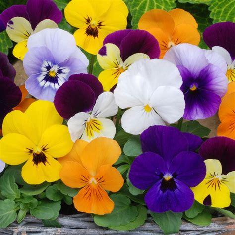 buy 40 plus 20 free large plug plants viola sorbet f1