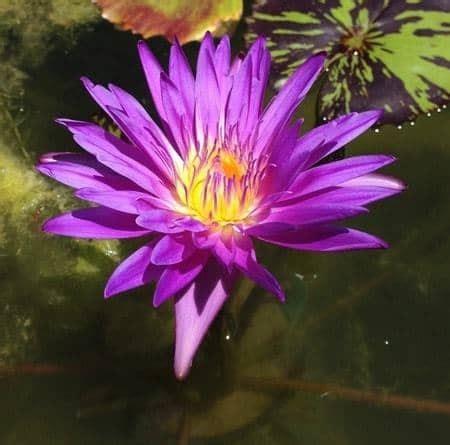 Jual Bibit Bunga Teratai jual tanaman teratai capensis ungu bibit