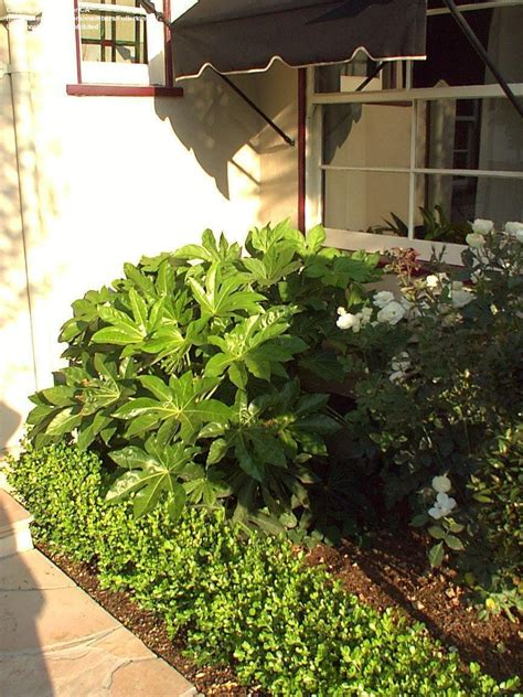 plantfiles pictures fatsia paperplant japanese aralia
