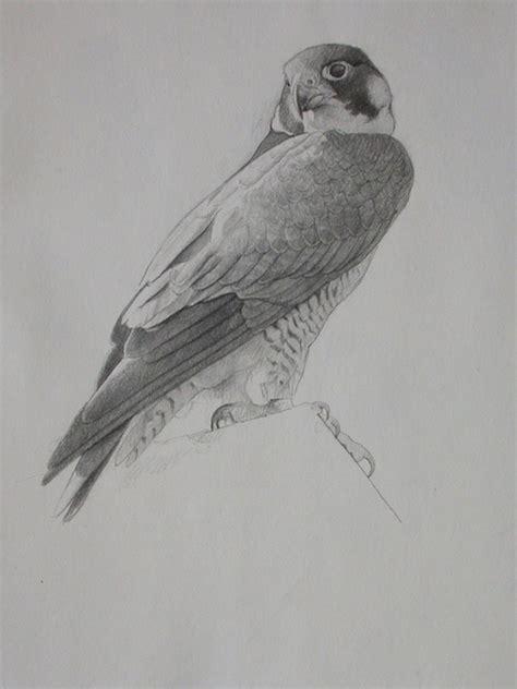 sketching peregrine falcon birds from life lori mcnee
