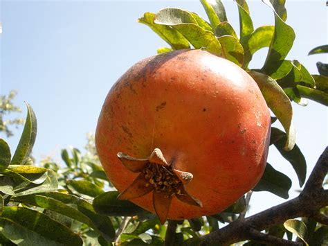5 fruits of israel file pikiwiki israel 31443 pomegranate fruit jpg