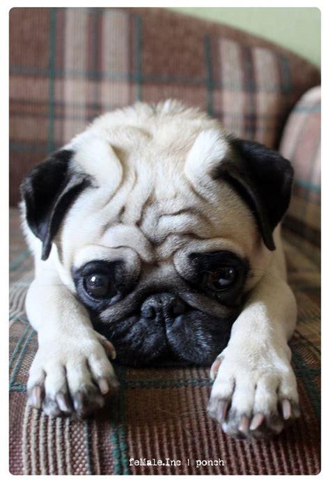 i want a pug so bad the world s catalog of ideas