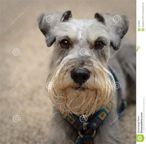 gray dogs black and grey schnauzer 2017 2018 best cars reviews