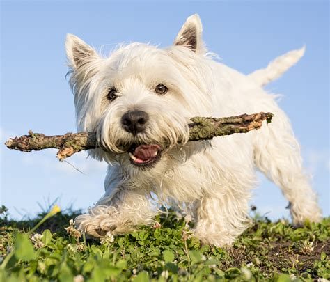 west highland puppies west highland white terrier breeders columbia dogs in our photo