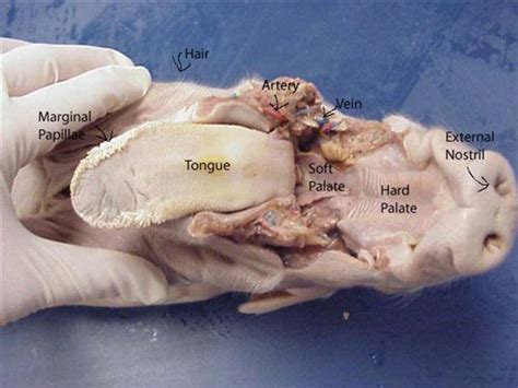 fetal pig stomach diagram human anatomy chart page 195 of 202 pictures of human