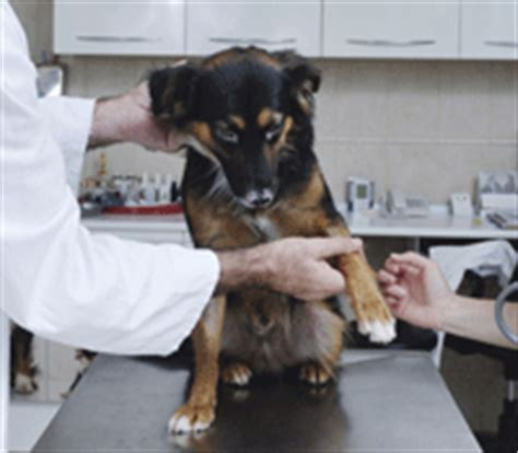pododermatitis in dogs pododermatitis in dogs