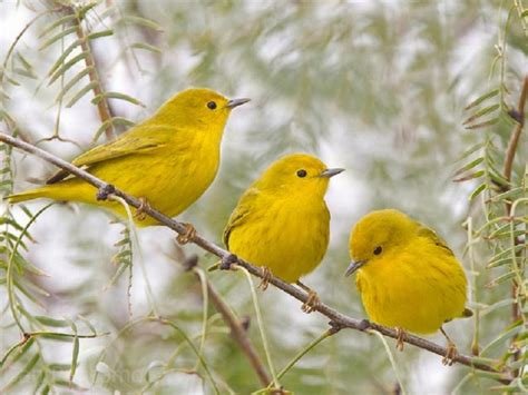 yellow birds pixdaus