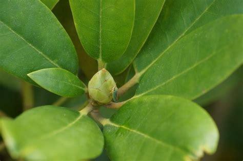 rhododendron winterfest machen garten rhododendron winterhart machen so 252 berwintern sie