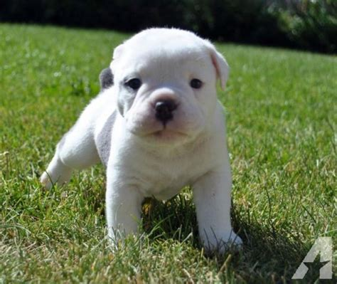 puppies for sale in salt lake city large beautiful bully bulldog pups available breeds picture