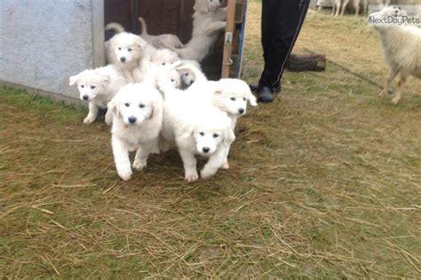maremma puppies for sale purple boy maremma sheepdog puppy for sale near olympic peninsula washington
