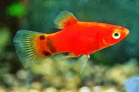 Pakan Ikan Hias Kecil Air Tawar gambar jenis ikan hias air tawar aquascape lengkap