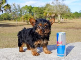 yorkie puppies for sale in fort myers fl puppies for sale in florida buy teacup small breeds puppies in fl