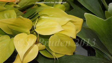 Philodenron Lemon plantfiles pictures heartleaf philodendron lemon lime
