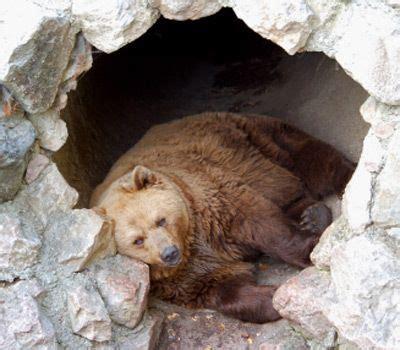 brown bear sleeping   cave bear priestess