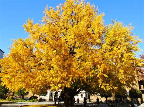 college trees ginko trees in fall tokyo hong蜊 cus