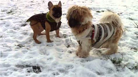 bulldog shih tzu mix puppies shih tzu bulldog in snow
