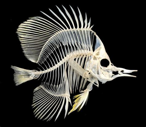 This Fish Looks Like A This Fish Skeleton Looks Like A Large Angelfish Animal Skeletons Angelfish