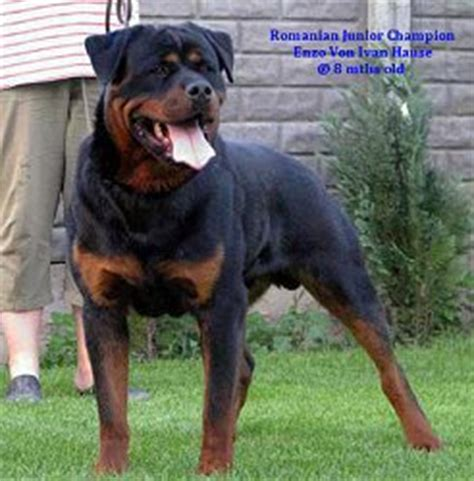 buff rottweiler american rottweiler vs german rottweiler image search results breeds picture
