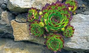 hens and chicks succulent plants groupon goods