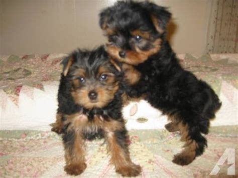 free teacup puppies in nj ckc tea cup and terrier puppies 8 weeks only pets