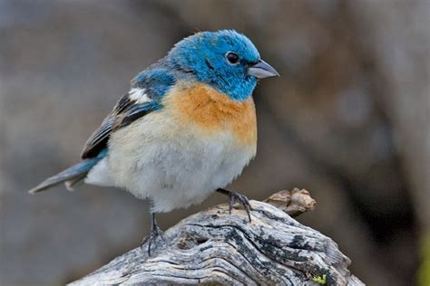 earthamore the lazuli bunting passerina amoena