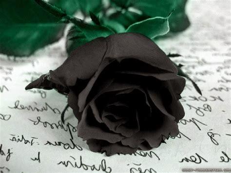 gambar foto bunga mawar hitam ayeeycom