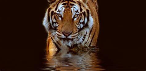 tiger wallpaper water hd desktop wallpapers  hd