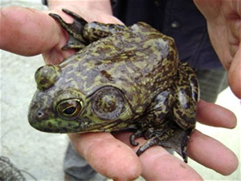 Frog Shedding Or Fungus by California S Invaders American Bullfrog