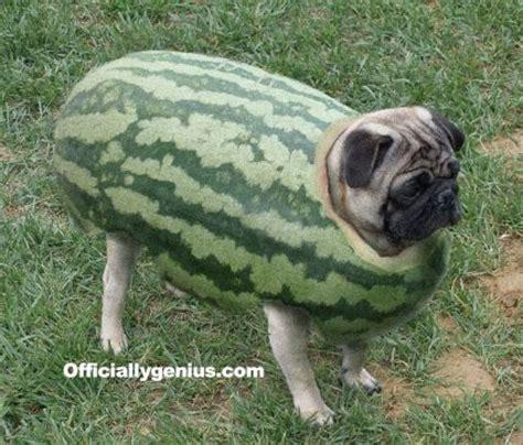 pug watermelon pug melon hahahah what animals