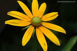 Flowers In Gardens - pictures of flowers rudbeckia