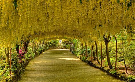 Bodnant Garden Laburnum Arch Laburnum Arch In Bodnant Gardens Wales Pics