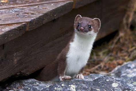 animals  start   weasel jessica paster