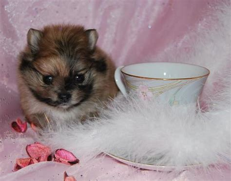 pomeranian adults size mini pomeranian adults picture to pin on thepinsta