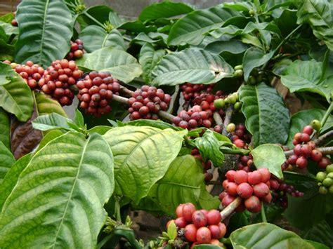 Termurah Durian Isi 3 Buah Kontrasepsi Kesehatan Kb Pri perkebunan kopi tlogo harian semarang info