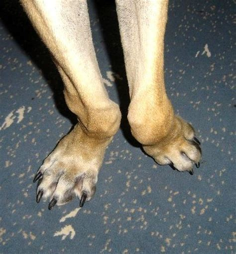 knuckling in dogs carpal varus in dogs pictures inspirational pictures