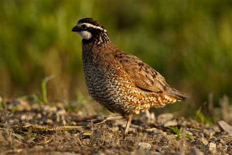 quail conservationists unite at missouri bobwhite quail